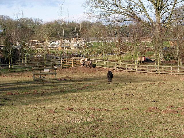 Paddock with Shetland Ponies