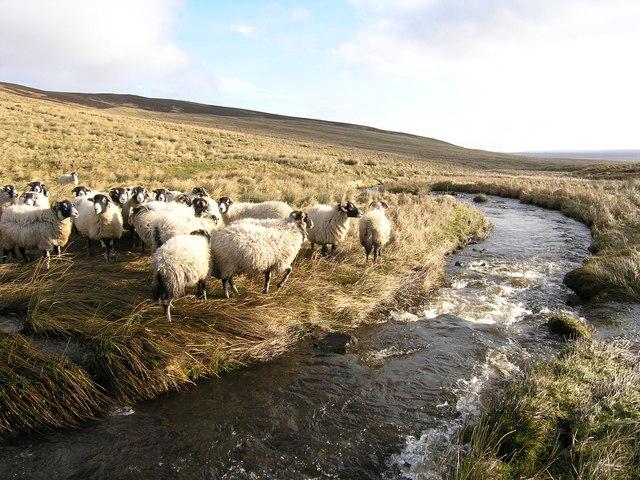 Sheep beside Arngill Beck