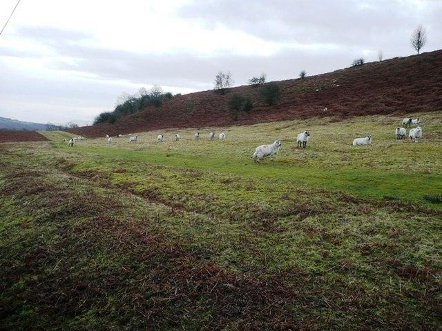 Sheep on Twmpath