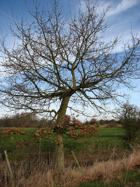 Young oak beside footpath