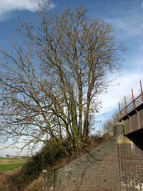 Alders on railway embankment
