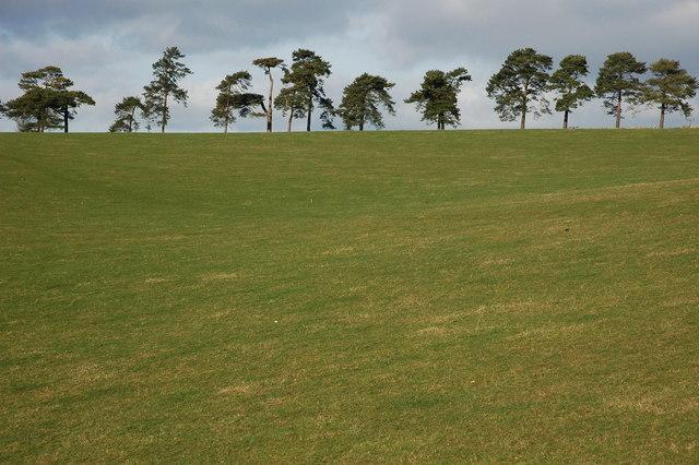Pine trees near Ebworth Farm