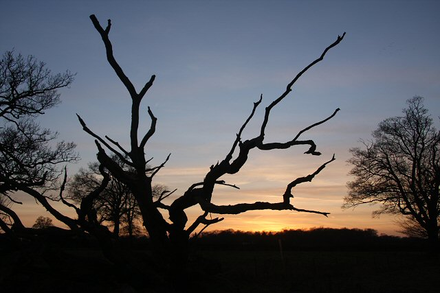 Dead tree at Little Saxham