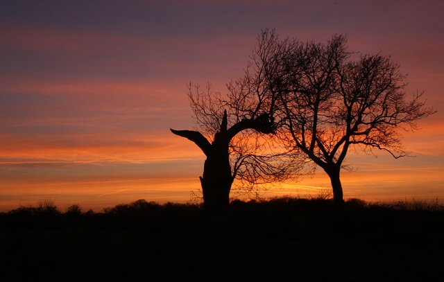 Silhouetted trees at Little Saxham