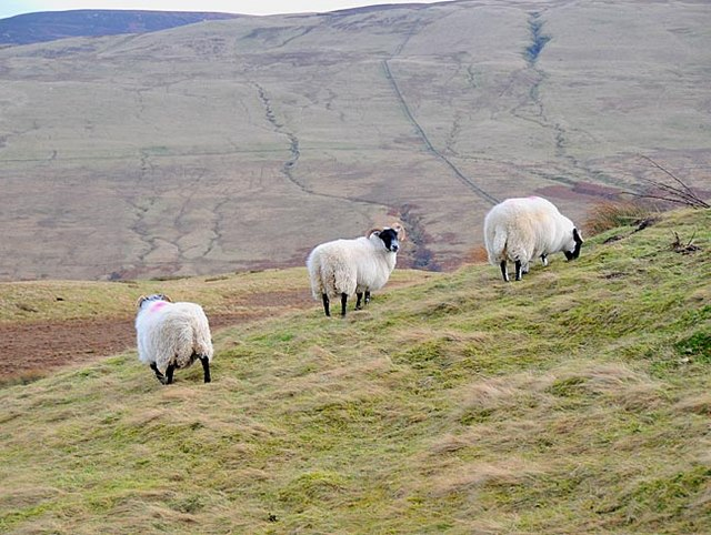 Moorland with sheep