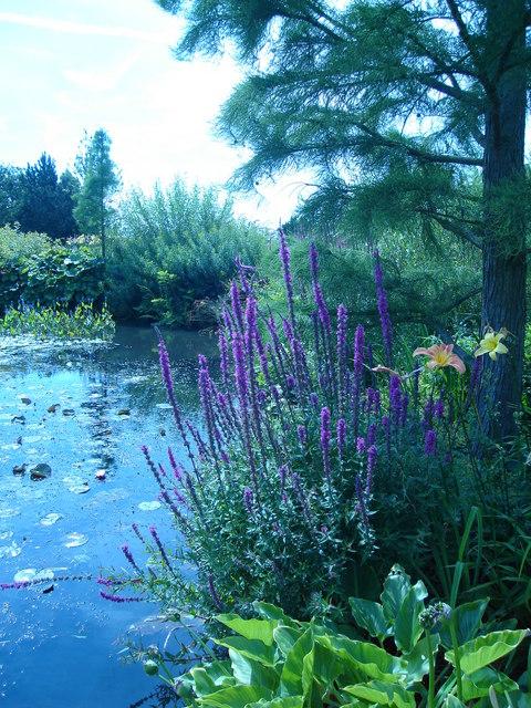Purple salvia by top pond, Hyde Hall nr. Rettendon