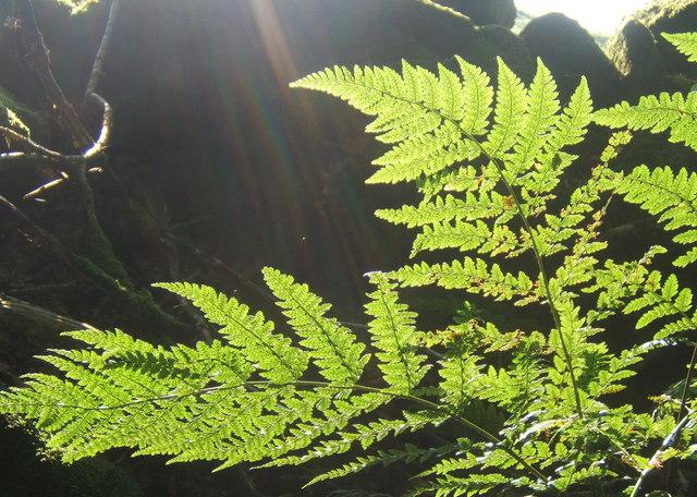Sunbeam catching bracken fronds
