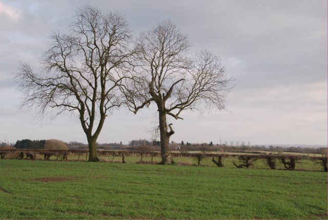 Pair of trees in the hedge-line