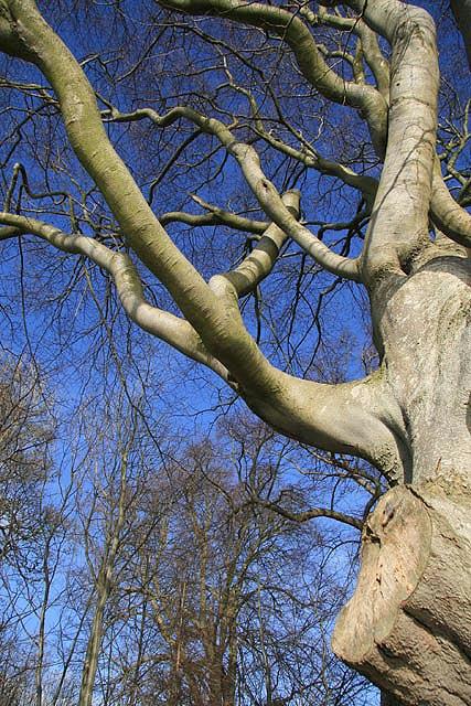 A Tweedside beech tree