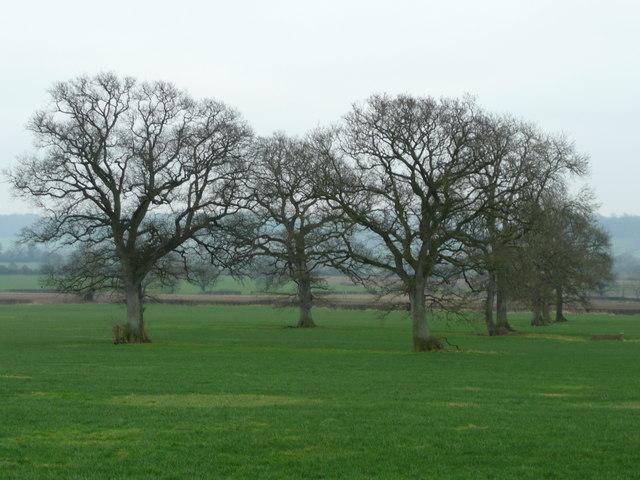 Oaks in a field