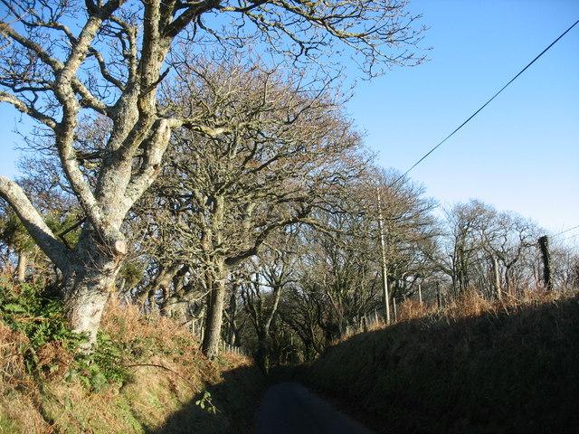 Roadside trees north of Cefn Mine