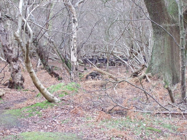 Deer in Captains Wood