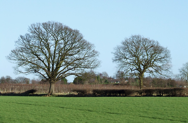 Oak Trees by the Vineyard, Halfpenny Green, Staffordshire