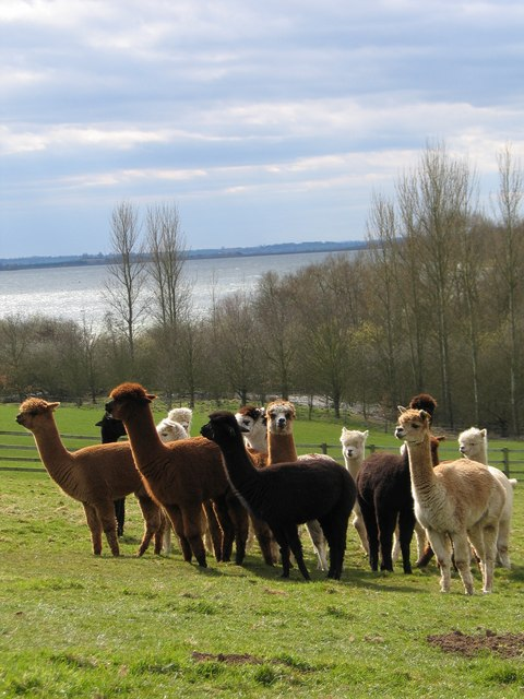 Alpaca herd on Toft Hill overlooking Draycote