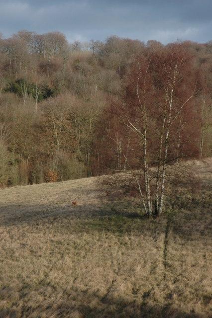 Silver Birch on Cranham Common