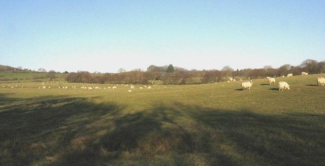 Sheep at Gwnhinger