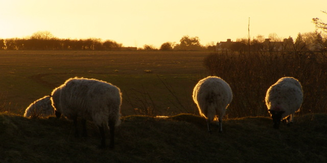 Sheep on Bokerley Dyke