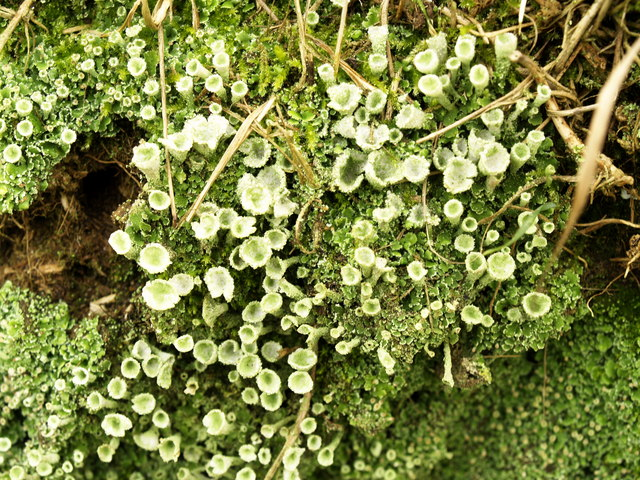 Pathside Lichen