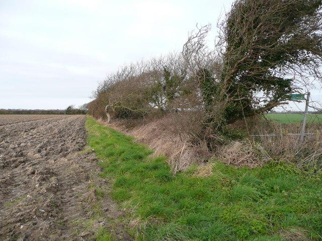 Windswept hedgerow