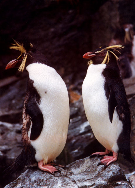 Northern Rockhopper Penguins (Eudyptes moseleyi) at Edinburgh Zoo