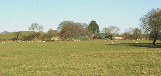 Sheep near the Gwnhinger farm buildings