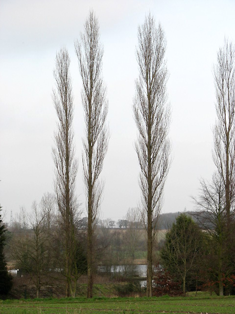 Tall poplars and Herring Lake beyond
