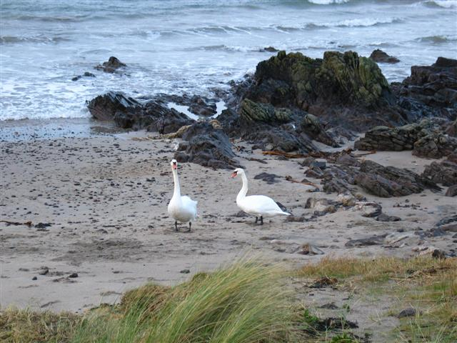 Machrihanish shoreline with two visiting swans