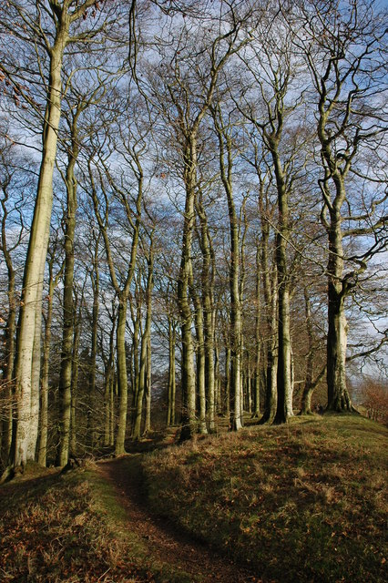 Beech trees on the Clent Hills