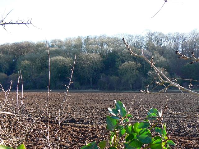 Butcher's plantation, near Standon, Hampshire