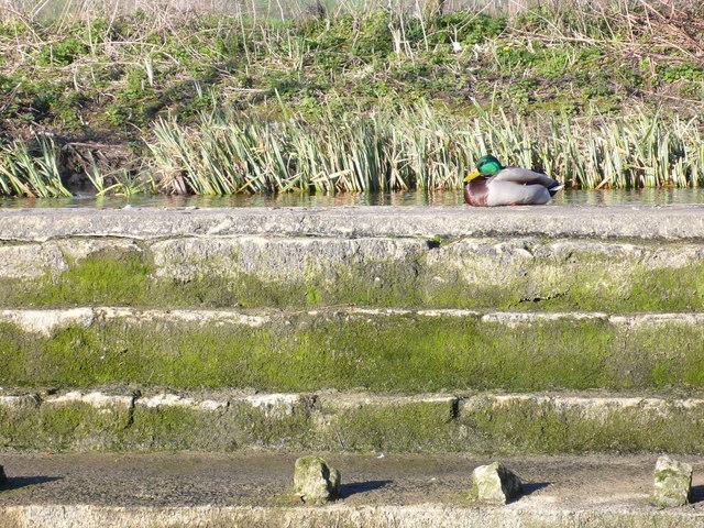 Drake on a dry weir, Nottington, Weymouth