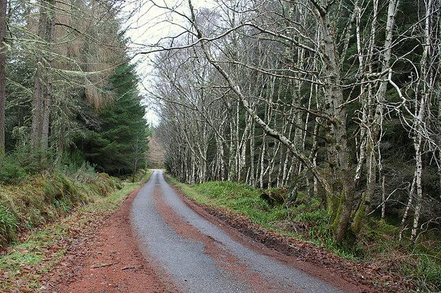 Conifers amongst Silver Birch