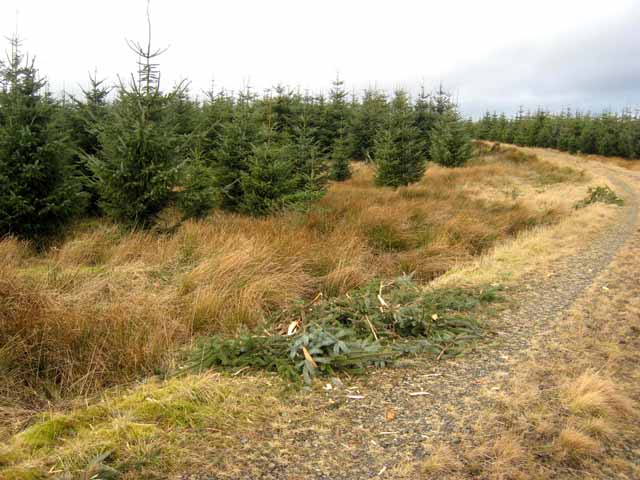 Young spruce plantation in Wark Forest