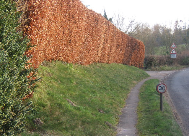 Beech hedge by B1078 just south of Coddenham village