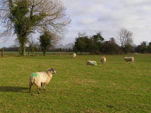 Sheep, Vernditch Lodge
