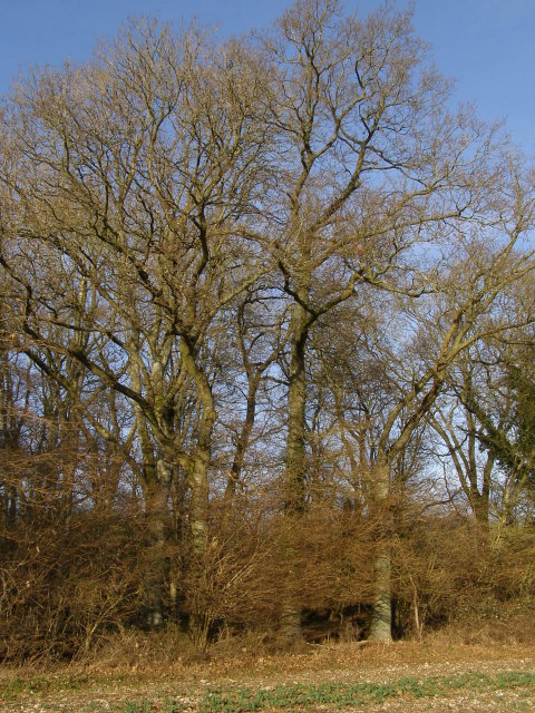 Oak trees, Knighton Wood