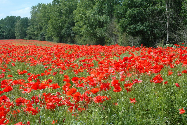 Poppies by the M54