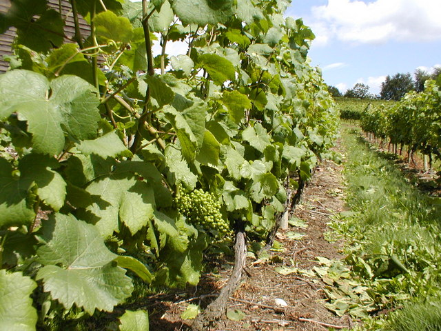 Growing on the vine - Halfpenny Green Vineyard