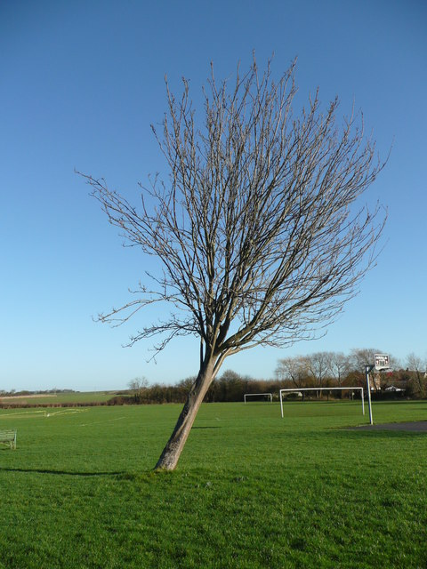 Leaning tree at Tetsworth playing field