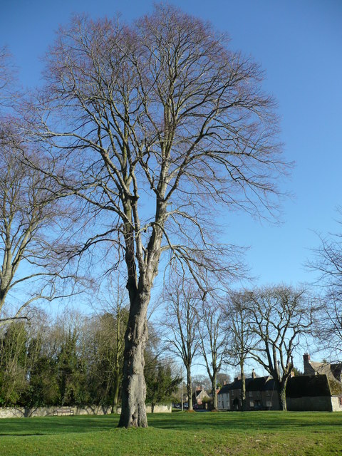 Fine specimen tree on Bletchingdon village green