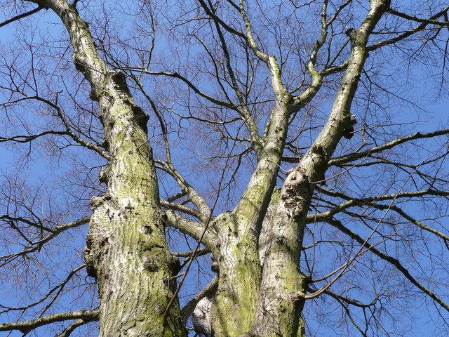 Tree canopy in winter