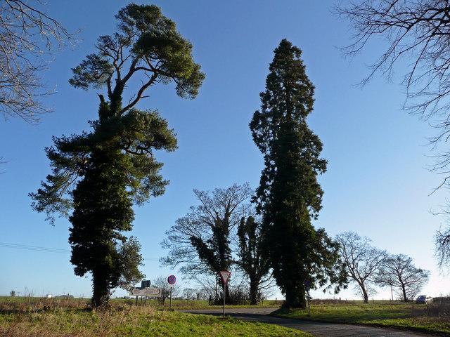 Pine and redwood