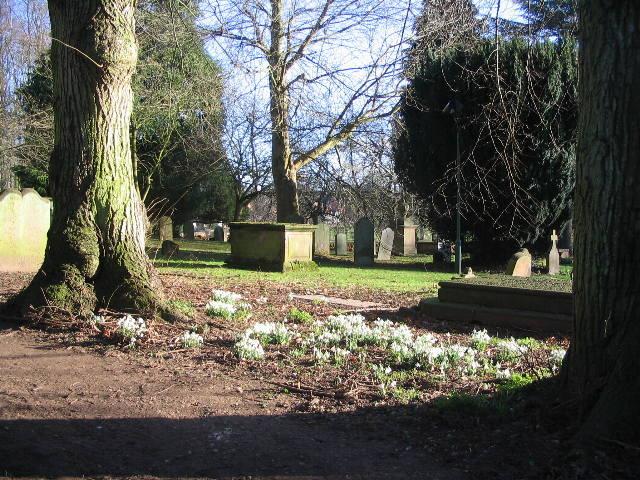 Snowdrops, St Nicholas churchyard