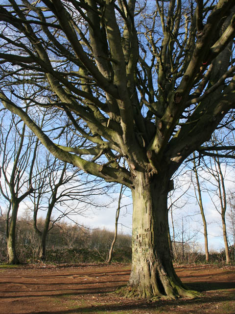 Ancient beech on Windsor Hill