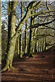 SO9380 : Beech trees on the Clent Hills : Week 4