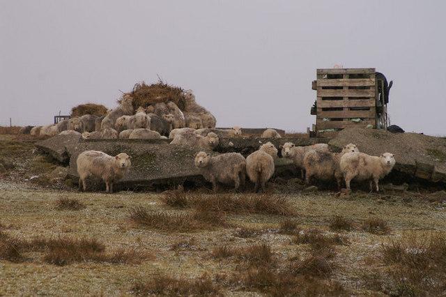 Sheltering sheep, Lamba Ness