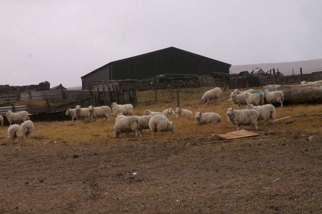 Sheep at Skaw
