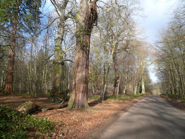 Clumber Park - Road through Giant Trees