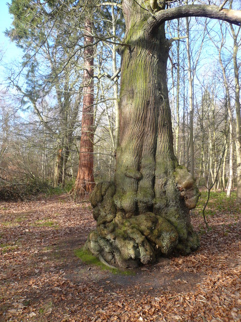 Clumber Park - Giant Trees