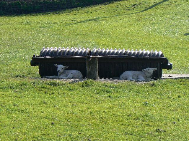 Lambs at Llangynidr