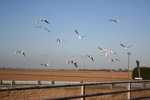 Frith bank gulls